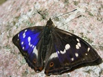 Purple Emperor (Apatura iris)